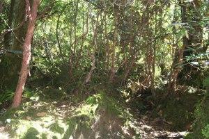 Rhododendron barbatum forest above Tsokha