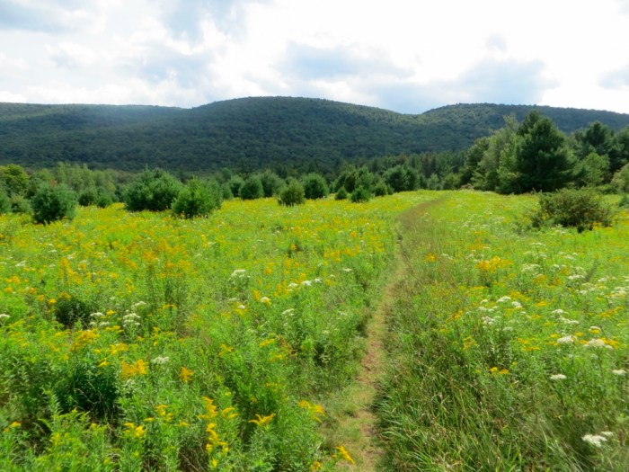 Wildflower field with path looking toward dark green mountain with blue sky white clouds