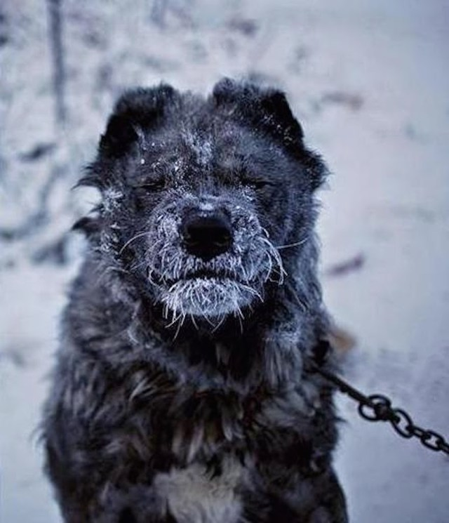 A-guard-dog-becomes-frosty-nosed-in-the-suburbs.-Welcome-to-The-Coldest-Place-Inhabited-By-Humans-on-Earth