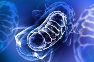 mitochodria