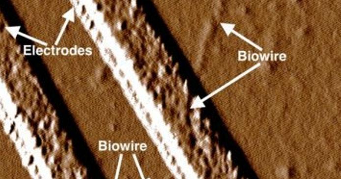 bacterii, nano-cabluri