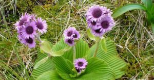 Campbell Island, flori urase