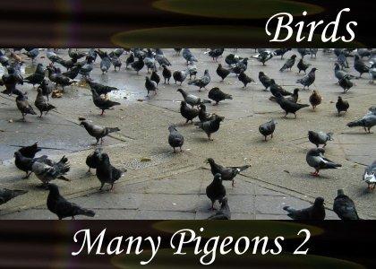 SoundScenes - Atmo-Birds - Many Pigeons 2