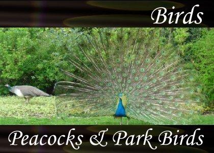 SoundScenes - Atmo-Birds - Peacocks and Park Birds