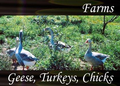 SoundScenes - Atmo-Farm - Geese Turkeys Chicks