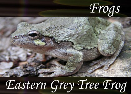 Eastern Grey Tree Frog