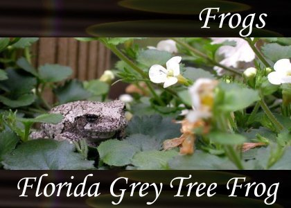 Florida Gray Tree Frogs