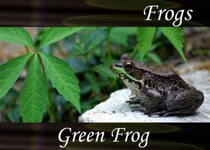 SoundScenes - Atmo-Frogs - Green Frog