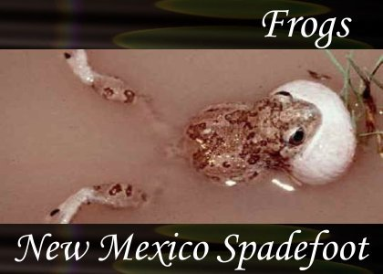 SoundScenes - Atmo-Frogs - New Mexico Spadefoot