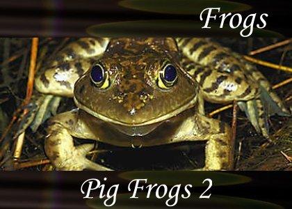 SoundScenes - Atmo-Frogs - Pig Frog 2