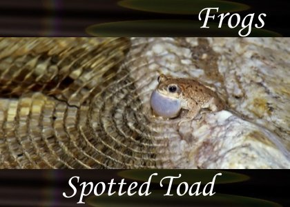 SoundScenes - Atmo-Frogs - Spotted Toad