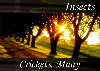 Crickets, Many