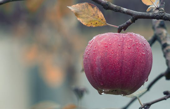 Cold red Apple on a tree