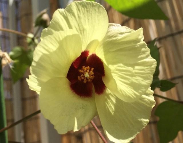 コットンの花