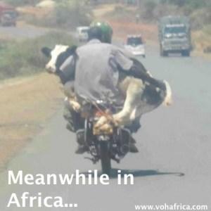 meanwhile - cow on bike