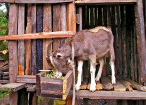 Lesorogol has introduced the Toggenburg goat, a highly productive goat, to the Samburu. These goats hold the promise to better nutrition and a better way of life. (Courtesy photo)