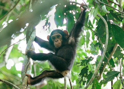 """The Goualougo Triangle, a remote, pristine forest, is home to at least 14 communities of """"naïve"""" chimpanzees with little exposure to humans. (Courtesy Michael Nichols)"""