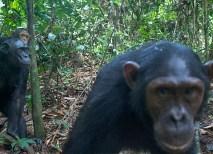 These curious chimps trigger a hidden camera. (Courtesy Ian Nichols)
