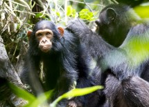 """""""Undoubtedly the Goualougo apes hold further insights for our understanding of the behavior of our closest living relatives and also that of our hominoid ancestors,"""" Sanz says. (Courtesy Ian Nichols)"""