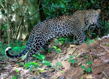 Leopards, a natural predator of chimpanzees, can be found near the primates' feeding grounds in the Goualougo Triangle. (Courtesy Ian Nichols)
