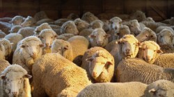 Wool Prices Retreat March