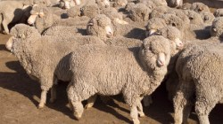 Wool Prices On The Rise