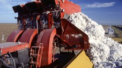 Cotton Prices Settle Down May