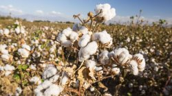 ICAC Forecasts Lower Cotton Production, Higher