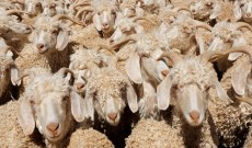 Is Banning Mohair the Answer to Animal Cruelty?