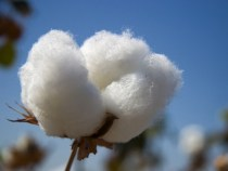 Cotton Prices Rise 4 Percent in April