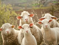 Textile Industry Grows Commitment to Responsible Wool Standard