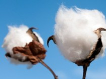 Cotton Prices Drop 3 Percent in May