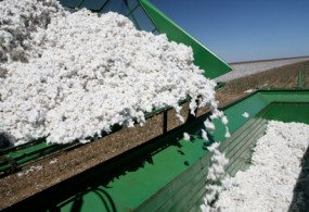Cotton Prices Rise Unexpectedly in Early 2017