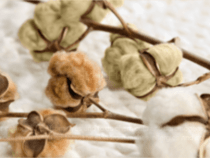 Naturally Colored Cotton Could Regain Popularity as Companies Seek More Sustainable Solutions