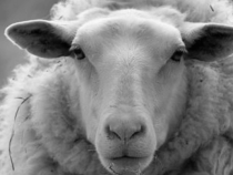 Argentina Adopts Responsible Wool Standard to Rehabilitate its Reputation