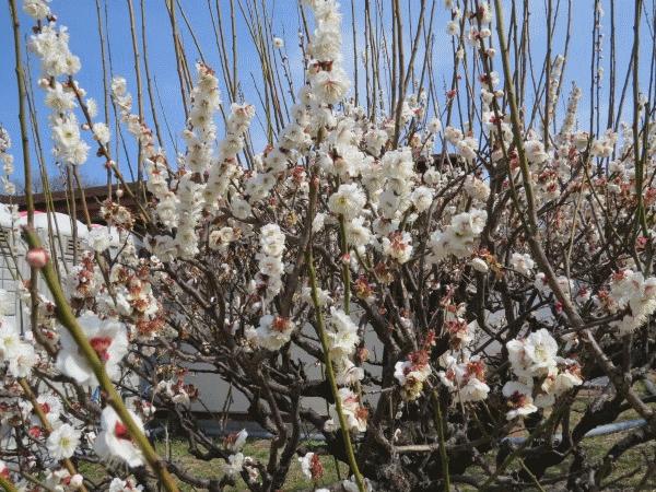 香りの標準木