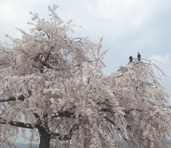 嵐山公園の桜