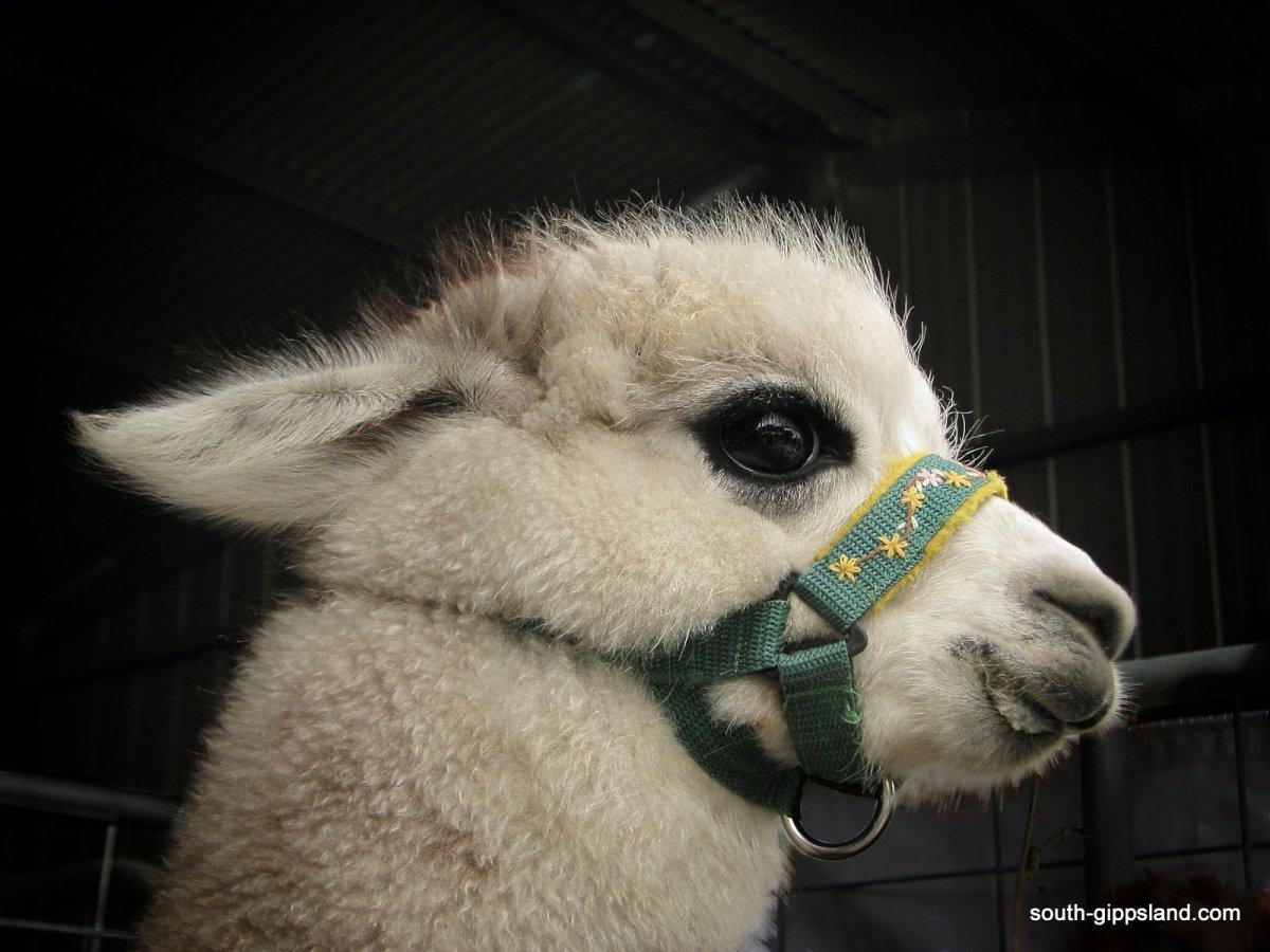 Foster-Show baby alpaca