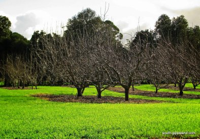 Toora-pear-orchard (4)