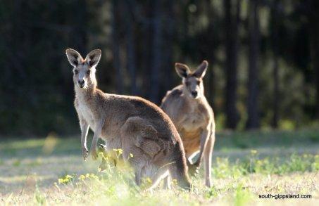australian-kangaroo (1)