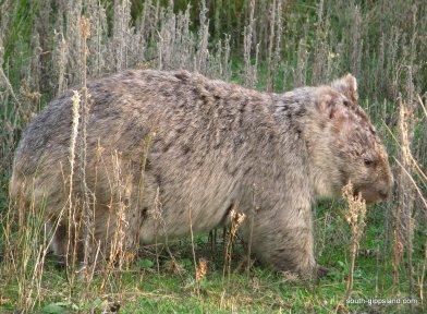 australian-wombat (2)