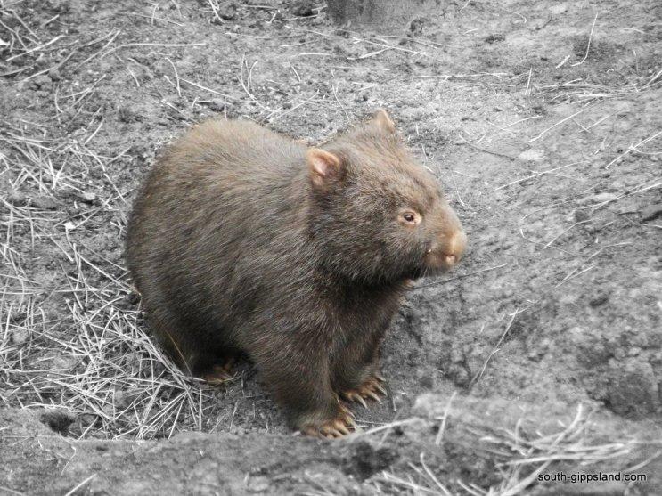 australian-wombat