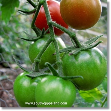 community garden cherry tomatoes