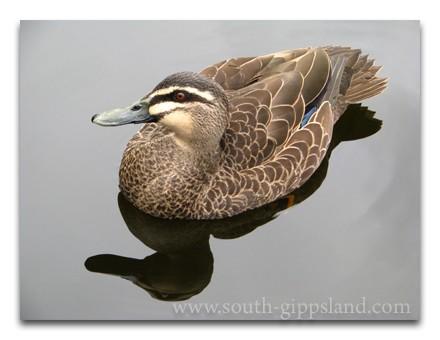 friendly ducks swim on the river