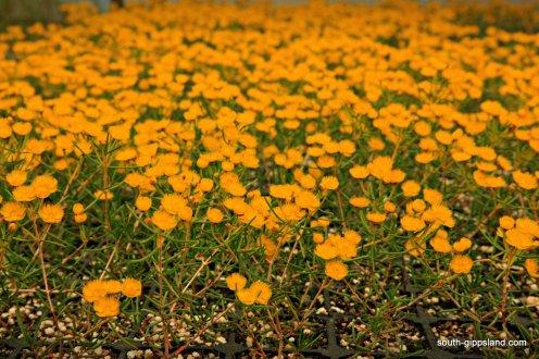 narkabundah-native-plant-nursery (19)
