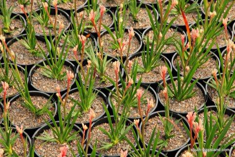 narkabundah-native-plant-nursery (6)