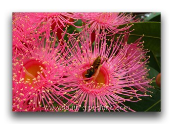 red-flowering hybrid gum trees
