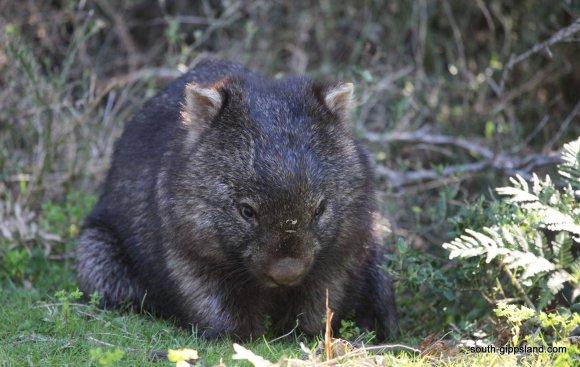 wombat-wilsons-prom