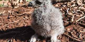 Spotted eagle owlet