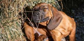 Zoetis' new 'game-changer' for itchy dogs